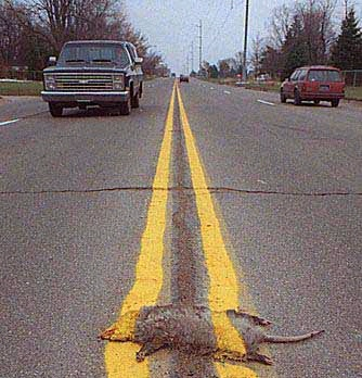 road kill with double yellow lines painted over it.