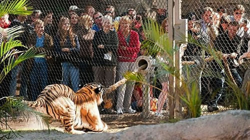 Visitors To Busch Gardens Zoo Play Tug Of War With Tiger