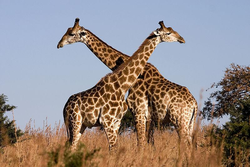 DID YOU KNOW Female Giraffes Urinate In Male's Mouth Before Mating