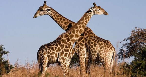 DID YOU KNOW Female Giraffes Urinate In Male's Mouth Before Mating?