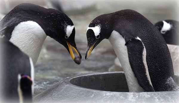 Gentoo Penguins Win Mates By Giving A Carefully Selected Pebble