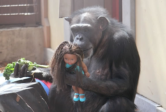Chimp Babies Like Playing With Dolls