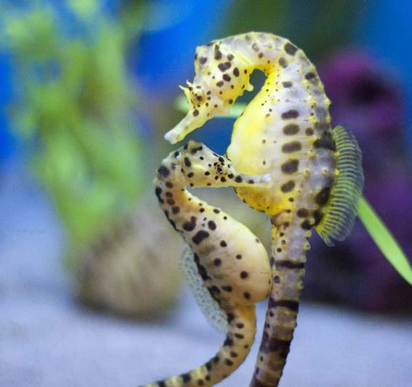 Seahorses Mate For Life And Travel In Pairs Holding Each Other's Tails