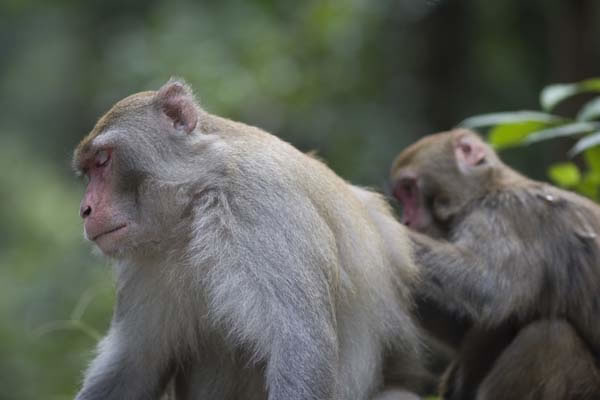 Monkeys Want Equal Pay. If Given A Different Reward For The Same Task, Monkeys Will Get Upset
