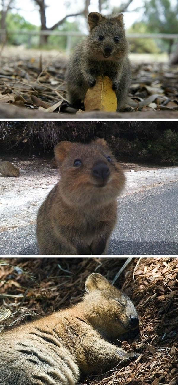 25 Quokkas Appear To Be The Happiest Animals In The World Animal Facts 25