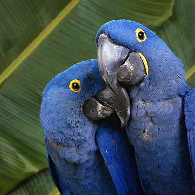 Parrots Choose Their Mates For Life