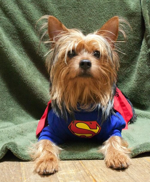 16 Cute And Adorable Dogs Dressed Up As Superheroes 7