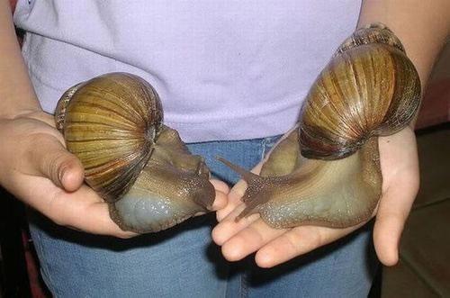Giant African Snails houston