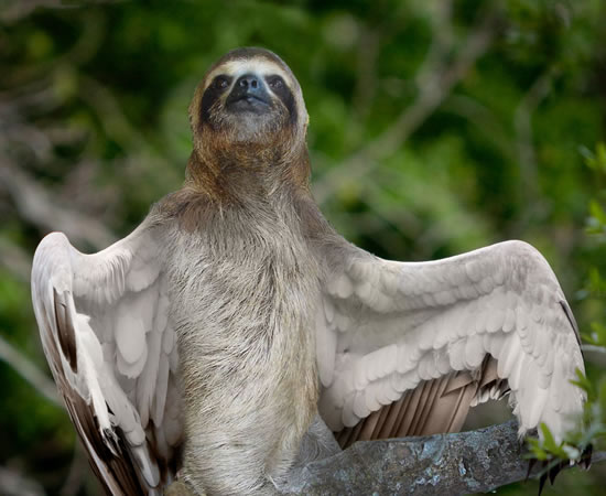 Greater Eagle Sloth
