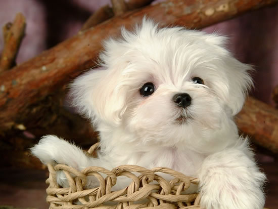 top 10 cutest puppies in the world (6)