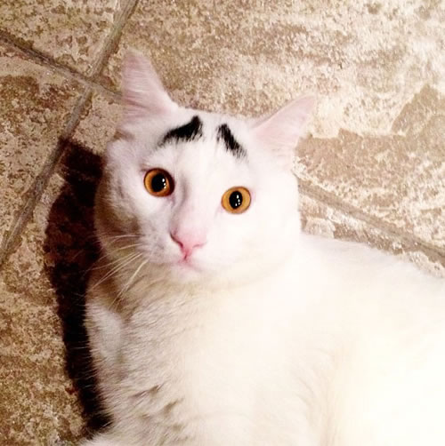 Sam The Cat With Eyebrows Is An Internet Hit 5
