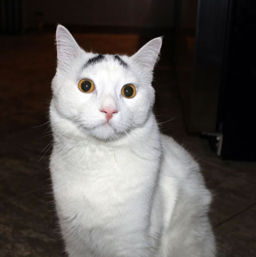 Sam The Cat With Eyebrows Is An Internet Hit 7