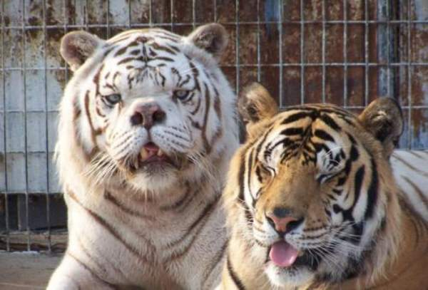 Say Hello To Kenny The Inbred White Tiger With Down Syndrome (4)