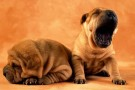 Daily Cuteness Puppies: The Big Yawn