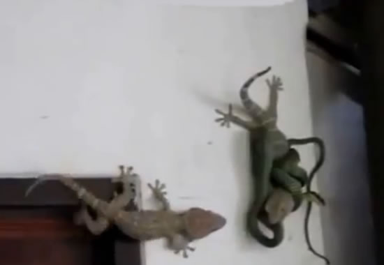 gecko vs snake