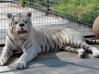 Say Hello To Kenny The Inbred White Tiger With Down Syndrome