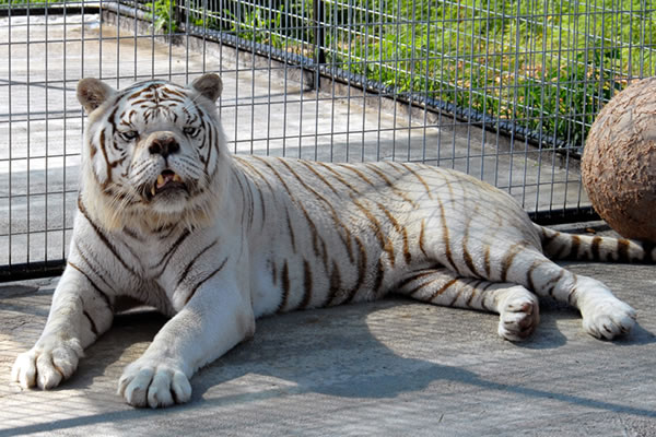 inbred white tiger with down syndrome