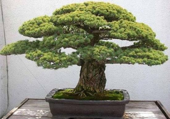Top 10 most amazing bonsai trees for Famous bonsai trees