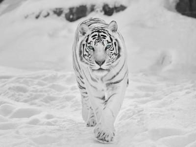siberian snow tiger (2)