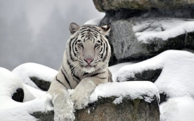 siberian snow tiger (4)