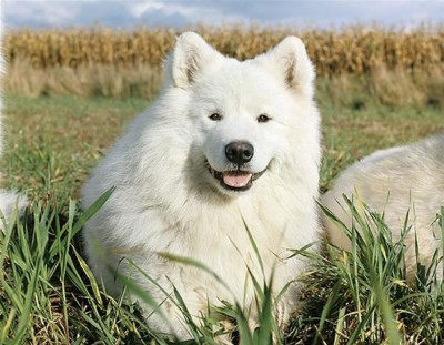 top dog breeds (10)