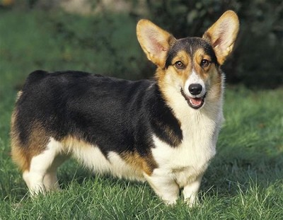top dog breeds (12)