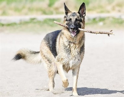top dog breeds (14)
