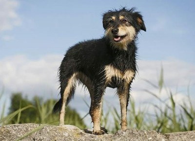 top dog breeds (20)
