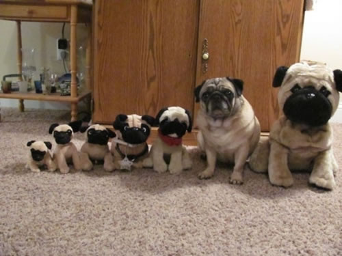 which pug is real