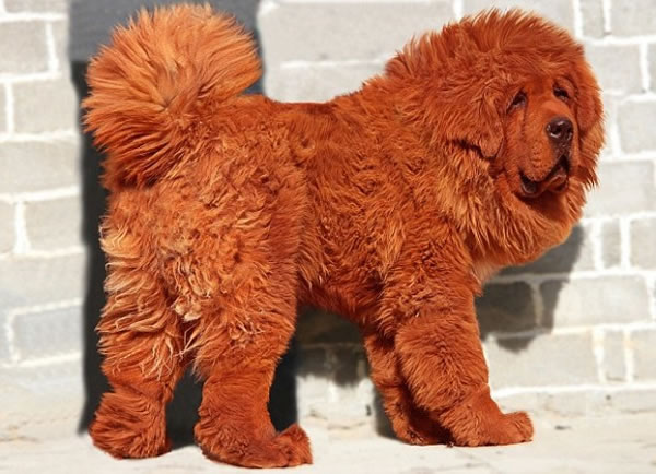 10 Rare Dog Breeds You Probably Never Heard Of 10