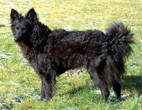 10 Rare Dog Breeds You Probably Never Heard Of 5