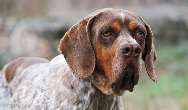 10 Rare Dog Breeds You Probably Never Heard Of 9