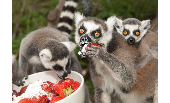 Check out these ring tailed lemurs digging into a delicious bowl of
