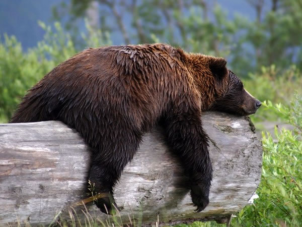Pictures Of Bears Chilling And Thinking About Life 3
