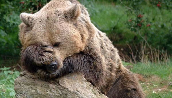 Pictures Of Bears Chilling And Thinking About Life 8