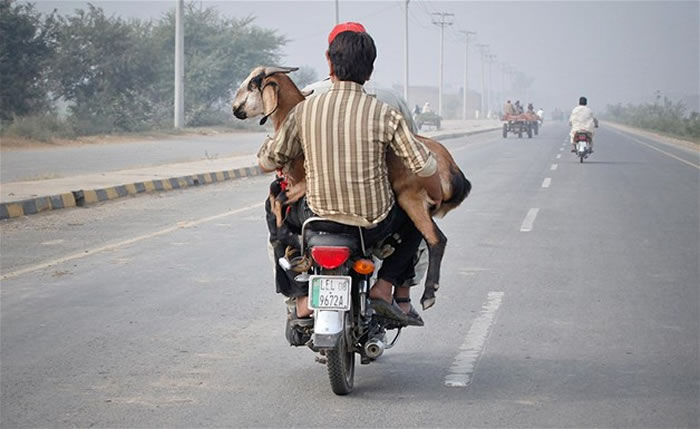 animals hitching a ride (4)