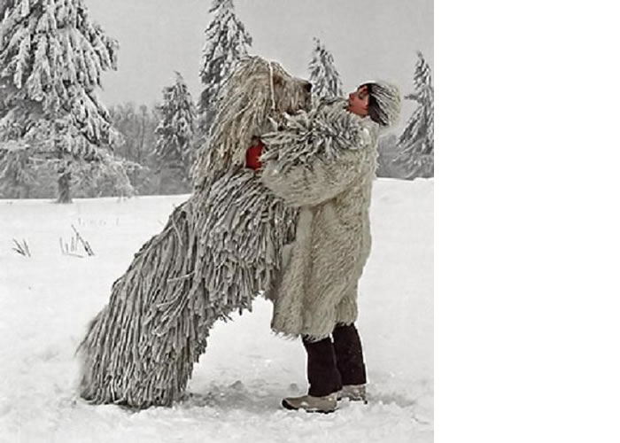 "Here's another for our cool big dog breeds the Komodor Or ""Mop Dog ..."
