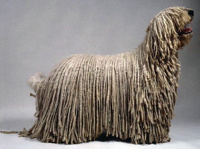 "... another for our cool big dog breeds the Komodor Or ""Mop Dog"