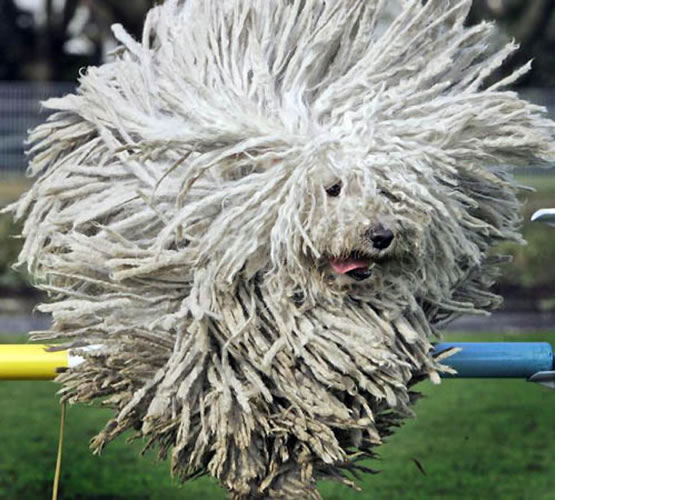 Big Dog Breeds Komodor Or Quot Mop Dog Quot