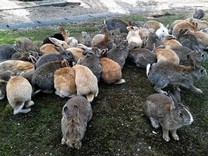 okunoshima rabbit island (7)