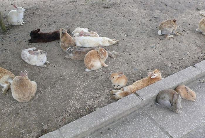 okunoshima rabbit island (9)