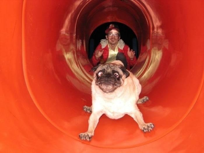 pug on a slide