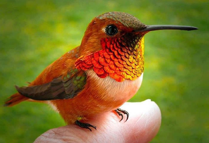 smallest bird in the world
