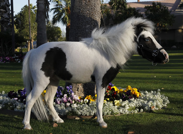 The smallest horse in the world ever - photo#53