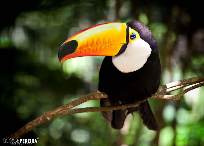 Beautiful Creatures - 10 Rare Toucan Species Tucano - Brasil