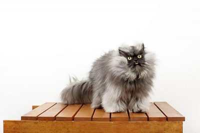 Colonel Meow Wins World Record For Cat With Longest Fur 1