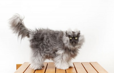 Colonel Meow Wins World Record For Cat With Longest Fur