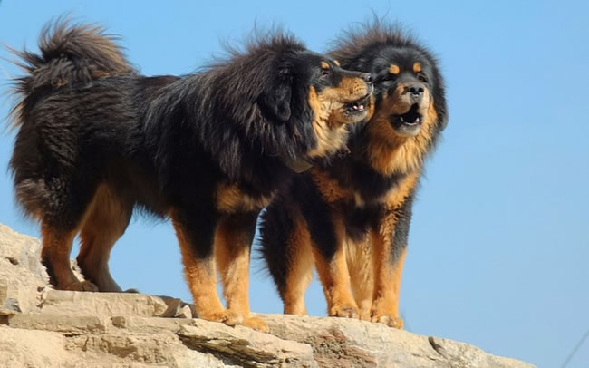Tibetan Mastiff Dog Facts, Pictures and More 3