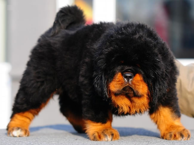 Tibetan Mastiff Dog Facts, Pictures and More 4