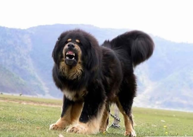 Tibetan Mastiff Dog Facts, Pictures and More 5